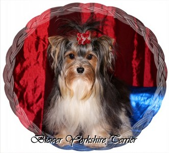 Biewer-Yorkshire-Terrier.jpg